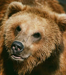 Bear close-up
