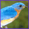 Photo of Bluebird