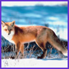 Photo of Fox