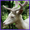 Photo of White Deer